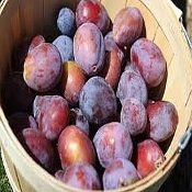 Plum- Red, Organically Grown (By the fruit)