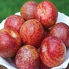 Pluots, Organically Grown, sold by the fruit